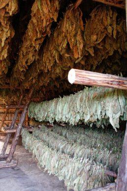 Séchage des feuilles de tabac