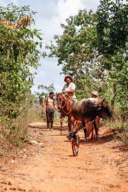 Cuba, Vinales, paysans à cheval et vaches