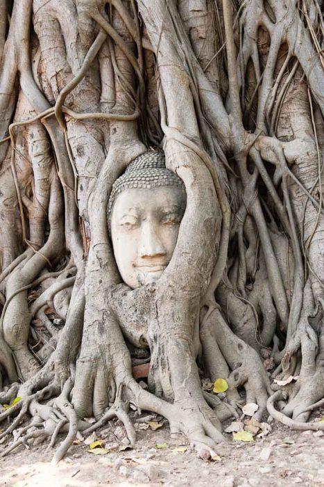 Tête de bouddha enchevêtrée dans les racines d'un vieux banian au Wat Mahathat